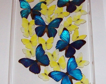 "Real Butterflies in a Beautiful ""Swarm"" of Morphos and Sulphurs"