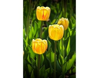 Dutch Yellow Tulip Flowers on Windmill Island in Holland Michigan during Tulip Time Festival No.301 A Fine Art Flower Nature Photograph