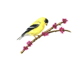 Goldfinch on an Eastern Redbud Branch - Watercolor