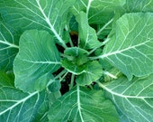 SALE! Collards Georgia Southern Heirloom Seeds Rare Tasty Greens for Fresh Juicing Salads Wraps or Sauteed