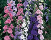 Larkspur Mixed Colors English Cottage Garden Annual Cut Flowers Rare Seeds