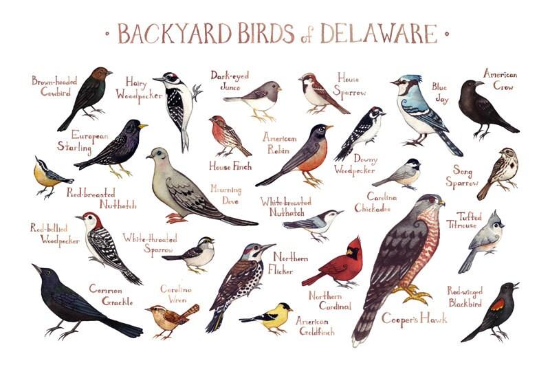 delaware backyard birds field guide art print watercolor