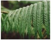 Fern photograph - nature photography - botanical art print - woodland - green wall art - minimalist art print - green nature woodland art