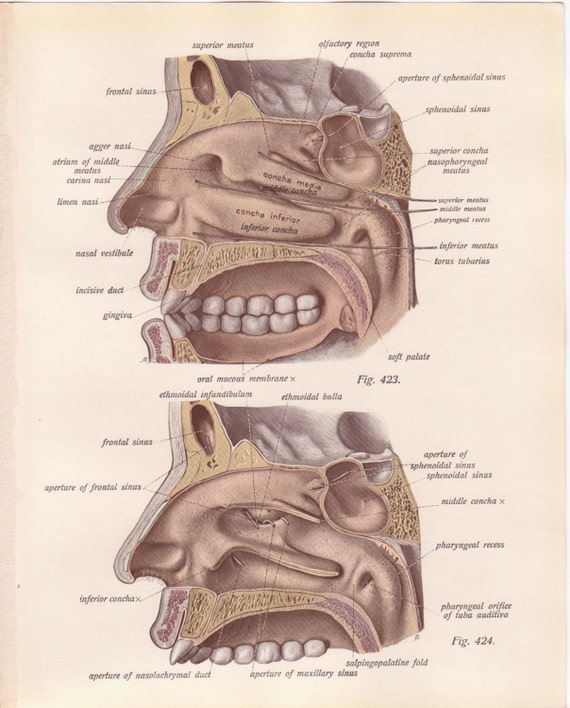Items Similar To Antique Medical Page Diagram Mouth Face