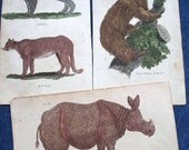 Lot 3 Antique Animal Engravings 19thC Rhinoceros Two Toed Sloth Lynx and Puma Illustration Pictures