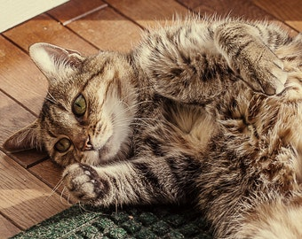 Cat photograph Feline Neutral American Shorthair tabby cat silver animal photography color photography stripes The Artisan Group
