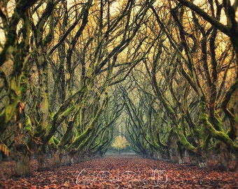 Landscape Photography | Tree Farm | Orchard | Tree Tunnel | Oregon | Nature Photography
