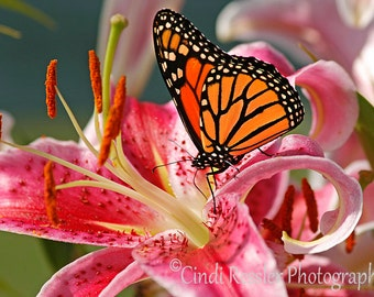 Monarch Butterfly, Photography, Butterfly Photography,  Nature Photography