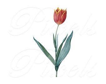 TULIP Instant Download Digital Image Transfer, wedding flowers red yellow clipart Redoute 310