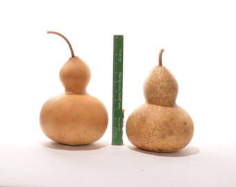 Two (2) Wide Bottle Gourds, natural gourds, dried gourds