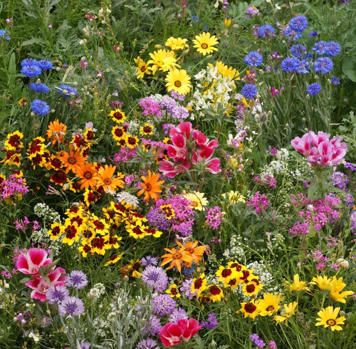BULK 2000 Heirloom Flower Seeds Wildflower Mix Cover a