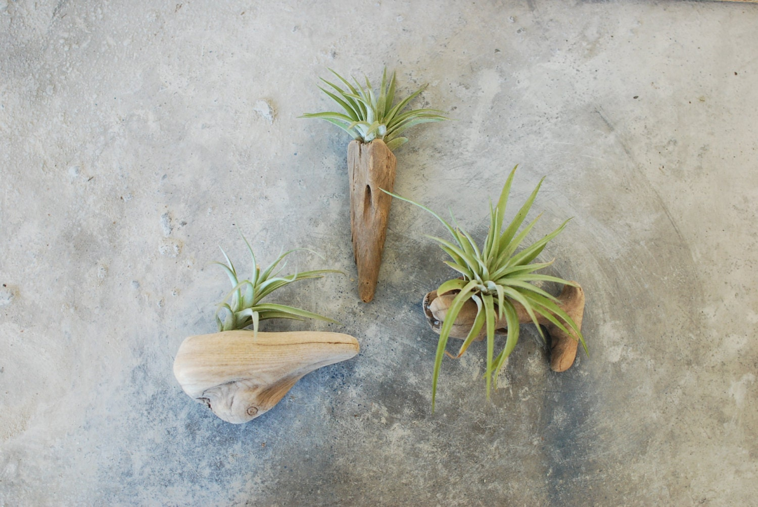 Large air plant and driftwood wall hanging ecofriendly for Air plant wall hanger