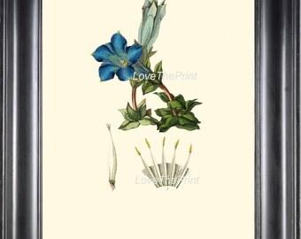 BOTANICAL PRINT Clarke Flower  Botanical Art Print 2 Beautiful Antique Blue Stemless Gentian Flower Spring Garden Home Decor to Frame