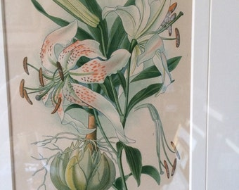 Antique Lilly print