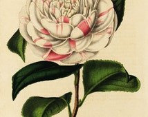 Original Antique Botanical  Hand Colored  Flower Print Camellia Countless Of Orkney