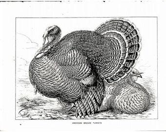 Original Antique Natural History Bird Print American Bronze Turkeys -