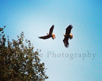 Dancing Eagles Photography Print. Bird Photo Print. Bald Eagle Photography. Photo Print, Framed Print, or Canvas Print. Home Decor.