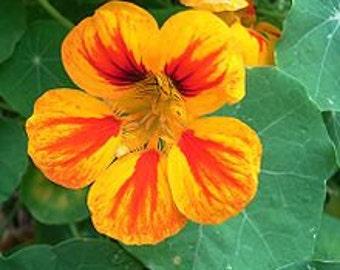 "Tropaeolum majus ""Trailing"" NASTURTIUM edible flowers"