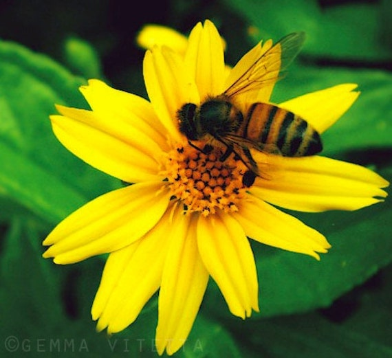 Honey Bee Photo, Yellow Flower, Nature Fine Art Photo // Macro Flower Photo, Nature Wall Art, Cottage Chic, Apartment Decor - 5x5/8x8 print