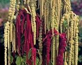 50 -  Love Lies Bleeding or Tassle Flower Seeds - Farm Mix - Green Tassle Flowers, Red Tassle Flower, Green Love Lies Bleeding, Non-gmo Seed