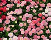 50 - Aster or Bellis Seeds - Dwarf English - Farm Mix - Heirloom Daisy Seed, Heirloom Flower, Perennial Wildflower, Heirloom Bellis, Non-GMO