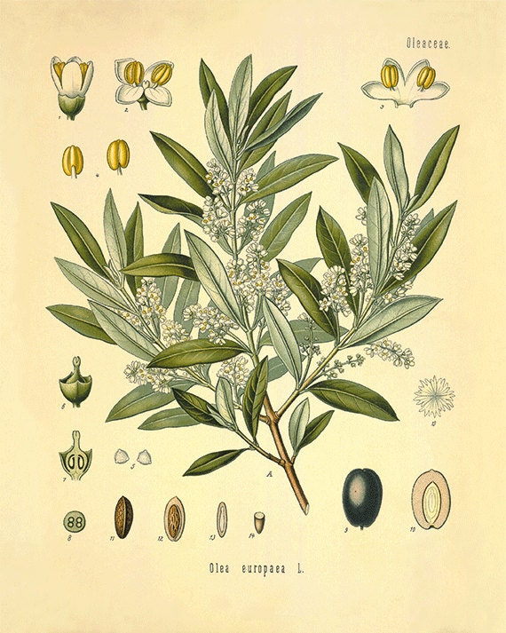 olive tree art print antique kitchen art print botanical art