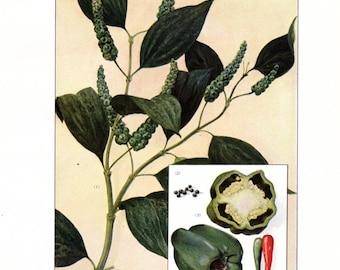 Antique Food Print Green Pepper Vegetable Kitchen Decor 11 X 8 1/2