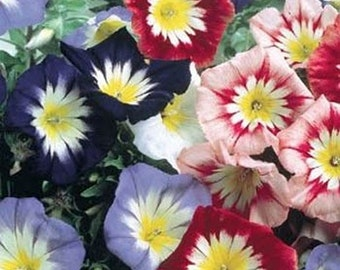 Morning Glory- Ensign Mix colors- 50 seeds