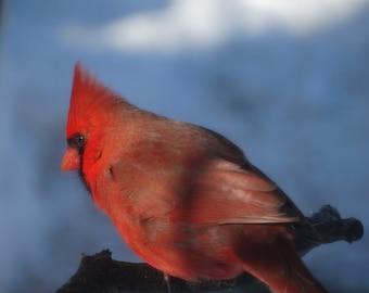 Red Cardinal Photo Art, Christmas Red Cardinal, Bird Photos, Bird Art, Nature Art, Nature Photo Art, Instant Download, Print up to 8 x 10