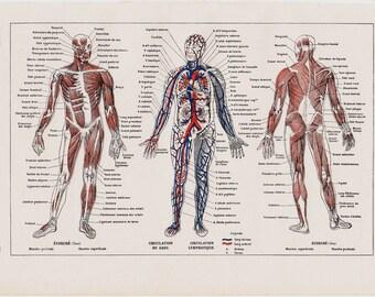 1940s Vintage anatomy print. human body