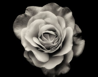 Flower Photography, Roses, Summer, Garden Photography, Nature, Fine Art, Black and White Photograph, Wall Art, Home Decor, Flower Print