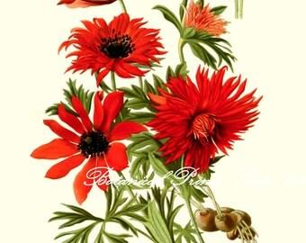 "Anemone Print. Botanical Print.  Red Flower Print.  8x10"" 11x14"""