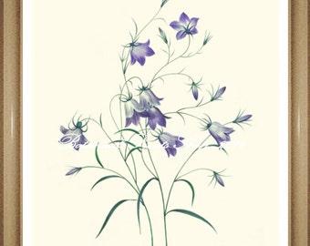 "Harebell Print #1. Botanical Print. Blue Flower Print. Botanical Wall Art. 8x10"" 11x14"""
