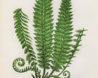 Anne Pratt Antique Fern Print - Holly Ferns Botanical Print