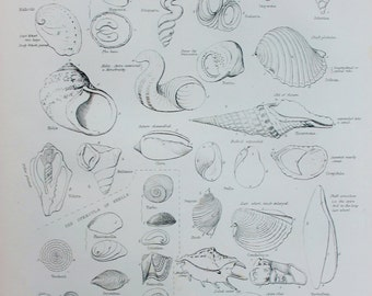 Conchology - Shells Terms. Wonderful 1851 Antique Black and White Print or Engraving