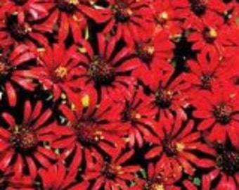 Red Cactus Zinnia Flower Seeds / Annual   30+