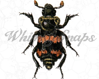 Vintage Orange and Black Beetle Bug Insect DIGITAL IMAGE Download,  .png and .jpeg, transfer to burlap, totes, designs, collages and more