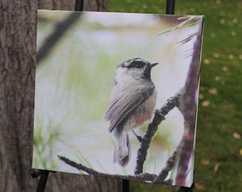 Mountain Chickadee Canvas Gallery Wrap