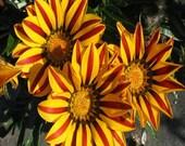 20+ Gazania Kiss Golden Flame Flower Seeds , Under The Sun Seeds