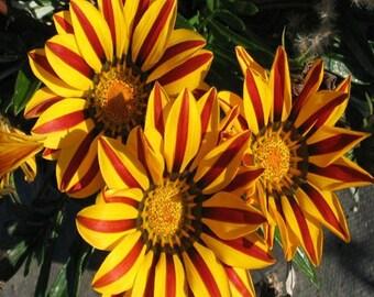 Gazania Kiss Golden Flame Flower Seeds (Gazania Rigens) 10+Seeds