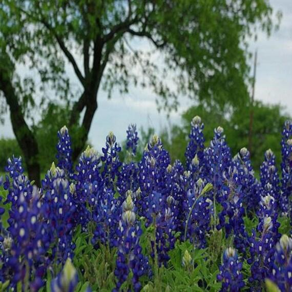 50 Texas Bluebonnet Flower Seeds Under The By UnderTheSunSeeds
