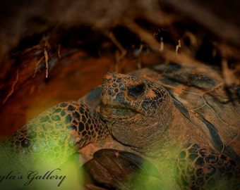 Gopher Turtle Photography, Nature Photography, Turtle Photography,Reptile Photography, Animal Photography, Wildlife Photos