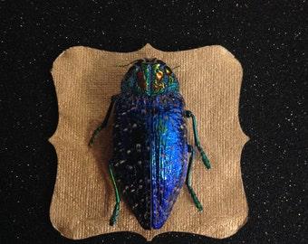Blue Jewel Beetles Shadow Box