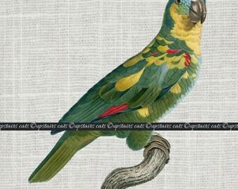 Vintage Color Parrot Bird Graphics Clipart - Digital Antique Graphics Printable Image - Clipart - Instant Digital Download