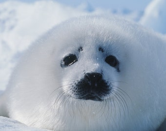 Icy the baby harp seal Timothy Treadwell nature photo