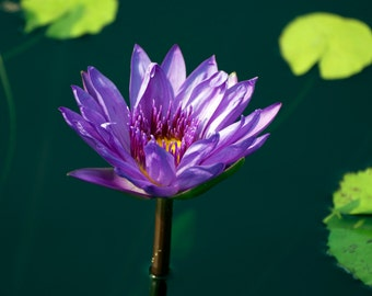 Purple Water Lily Fine Art Photography Wall Print or Photo Canvas