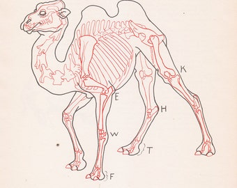 Vintage Camel Anatomy Print Skeleton Illustration Color Animal Book Plate