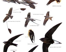 Vintage Bird Print - Whip Poor Will, Black Swift, Chimney Swift, European Nightjar, Brown Spinetailed Swift- 1990 Vintage Book Page - 11 x 9