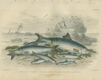 Twaite Shad, Herrings, Sprats Garvies, Anchovy, Pilchard, Whitebait, Rare Antique, 1868 Goldsmith, Hand Colored,