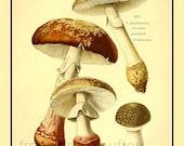antique french illustration amanita rubescens blusher mushroom print DIGITAL DOWNLOAD